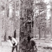 Historical Logging Photographs taken in Beauregard Parish